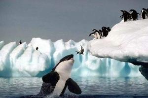 pinguino orca